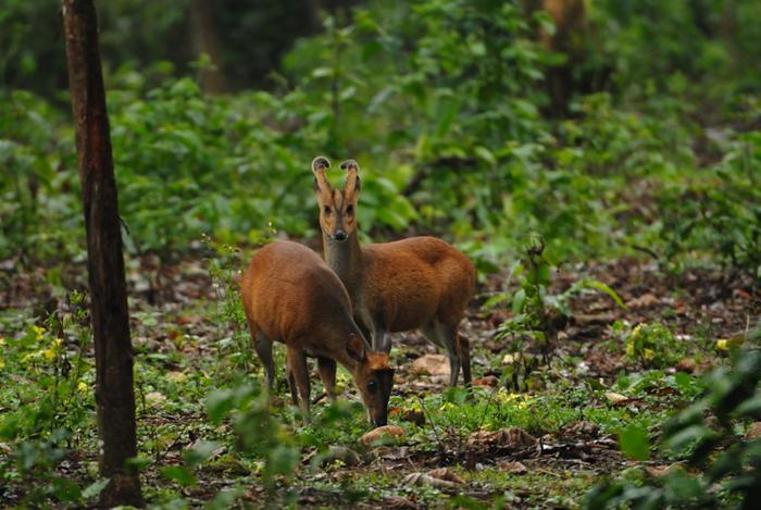 கேளையாடு Indian Muntjac or Barking Deer Muntiacus muntjak (Photo: Kalyan Varma)