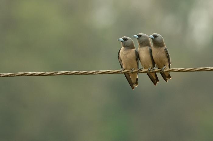 தந்திக்கம்பியில் காட்டுத்தகைவிலான்கள். Photo: Kalyan Varma