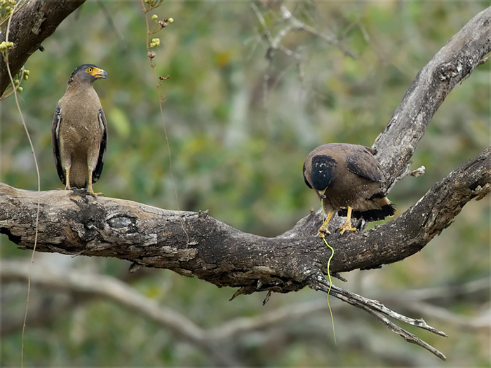 A pair of Crested Serpent Eagles