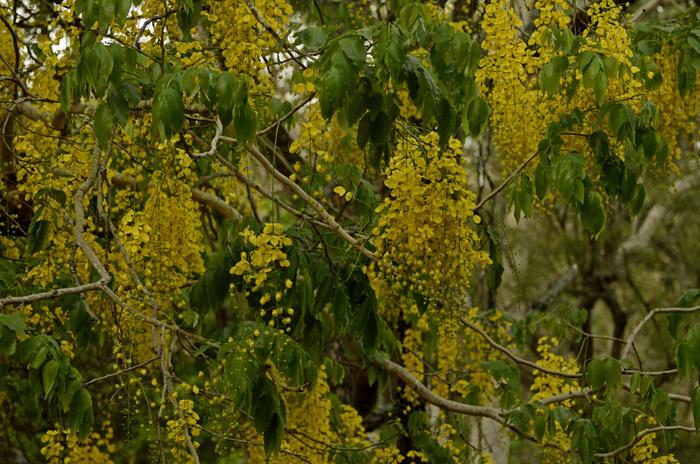 சரக்கொன்றை Golden Showers Cassia fistula