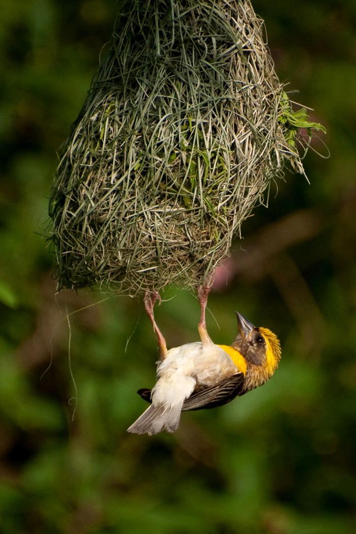 nesting male
