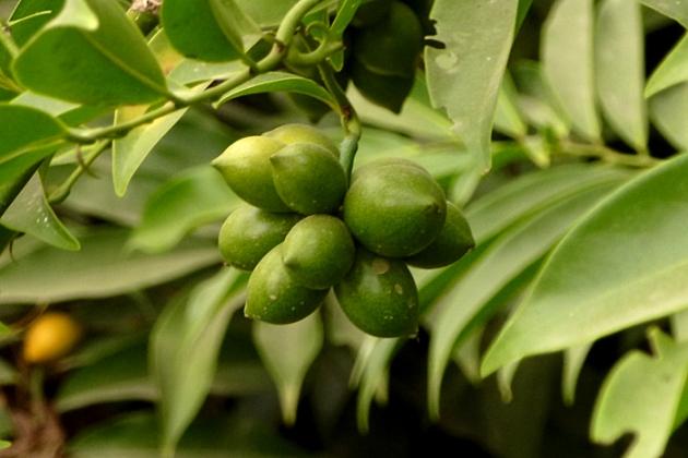 மனோரஞ்சிதம் - காய்த்திரள்