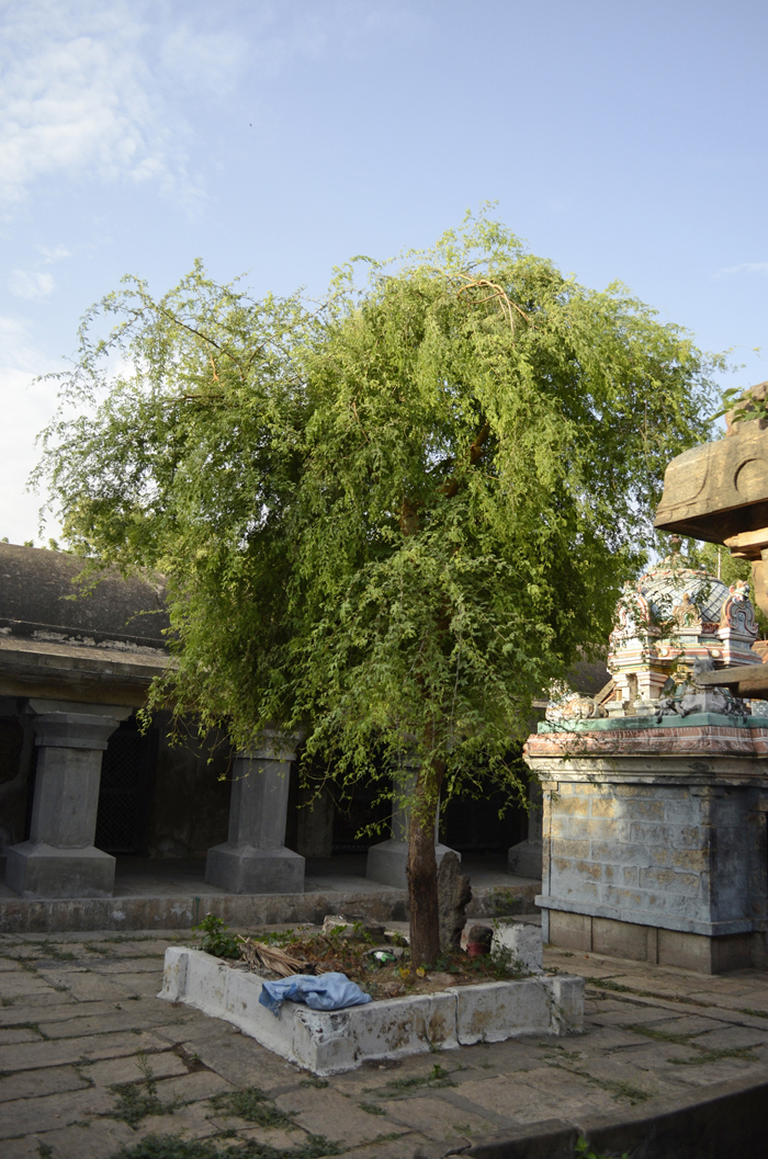 வசிட்டேசுவரர் கோயில் வன்னி மரம்