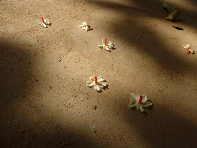 தரையில் கிடக்கும் பவழ மல்லிப் பூக்கள்