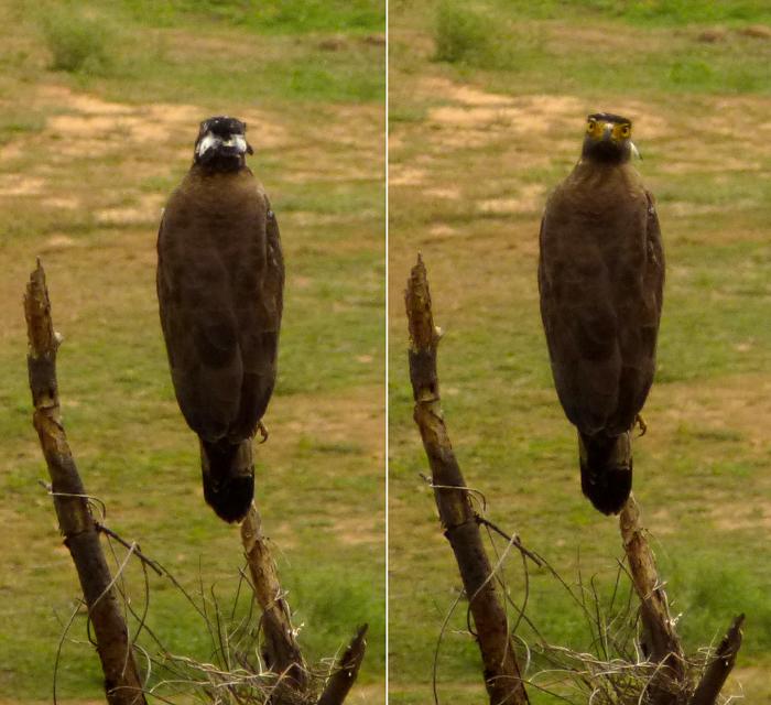 காட்டுப்பாம்புக்கழுகு Crested Serpent Eagle (Spilornis cheela)