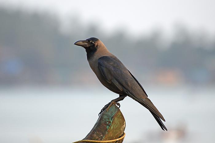 காகம் House Crow
