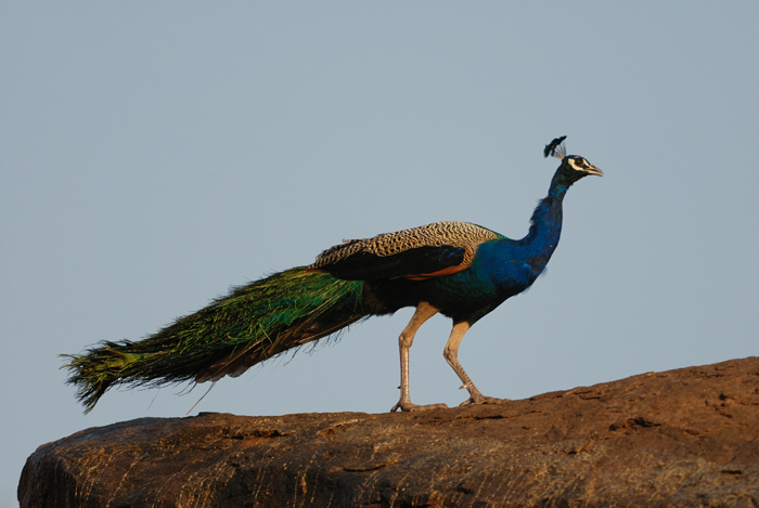 ஆண் மயில்கள் அவற்றின் தோகைக்காக பெருமளவில் கொல்லப்படுகிறது.: Photo-Kalyan Varma