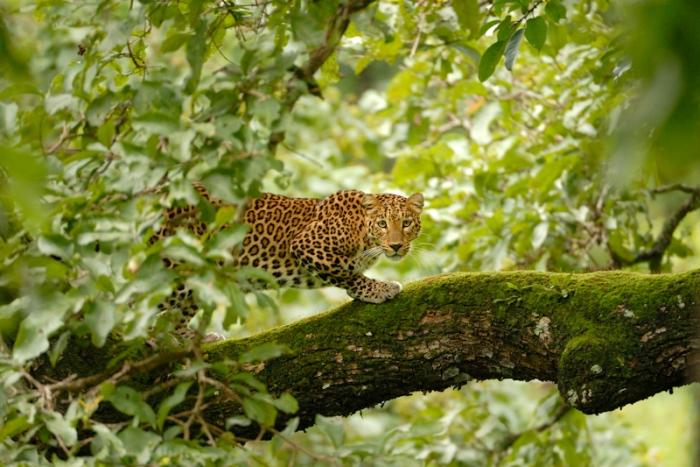 மரத்தின் மீதிருந்து நம்மை உற்றுநோக்கும் ஒரு அழகான சிறுத்தை (Photo Kalyan Varma)