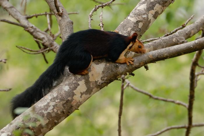 மலபார் மலையணில் Malabar giant squirrel, (Ratufa indica). Photo: Kalyan Varma