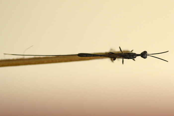 ஊசிவால் குளவியின் மேற்புறத்தோற்றம்