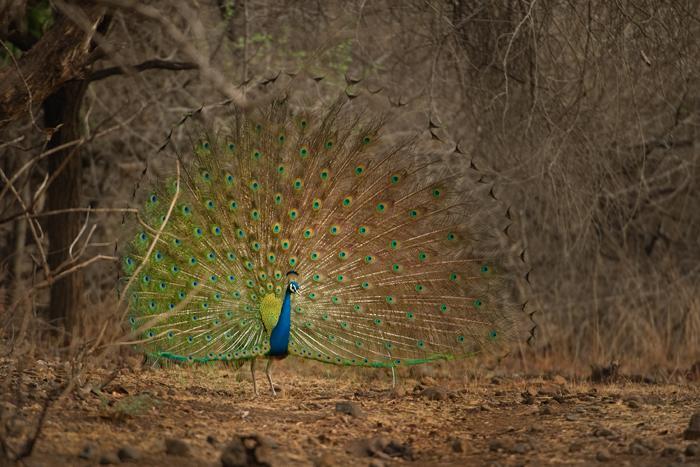 தோகை விரித்தாடும் ஆண்மயில். Photo: Kalyan Varma