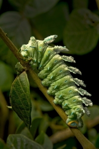 Atlas Moth_Caterpillar_Kalyan Varma_700