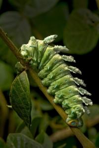 Atlas Moth_Caterpillar_Kalyan Varma_700