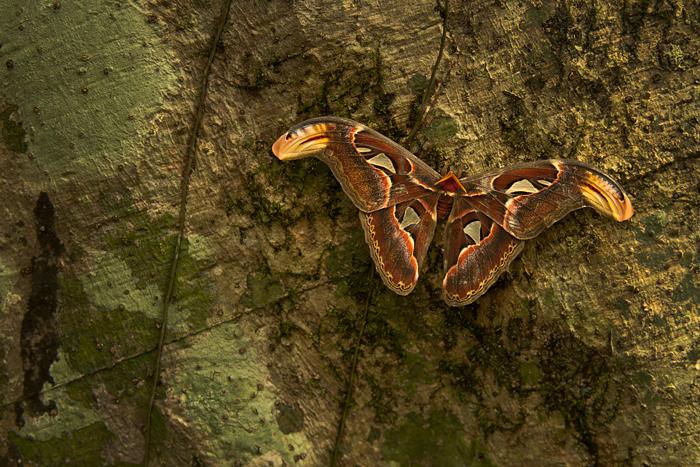 Atlas Moth_Kalyan Varma_700