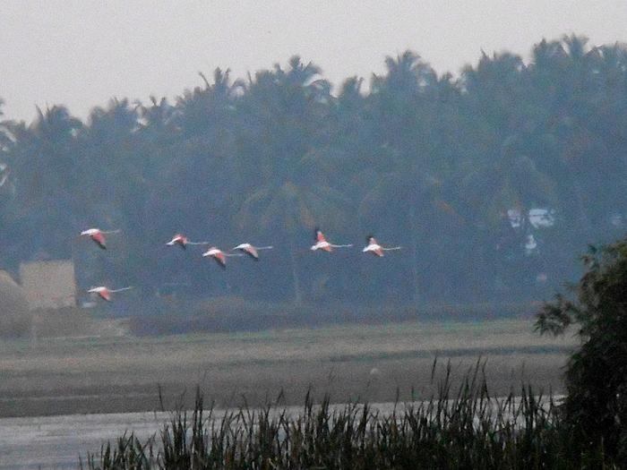 கண்ணன்குறிச்சி ஏரியில் பார்க்கப்பட்ட பூநாரைகள். Photo: Ganeshwar