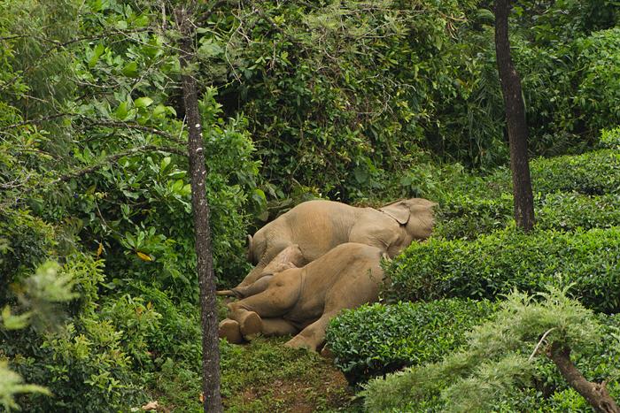 படுத்துறங்கும் யானைகள்.Photo: Ganesh Raghunathan