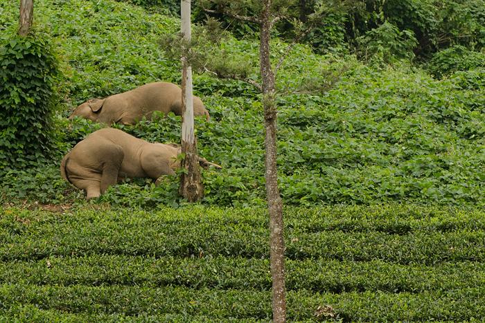 படுத்துறங்கும் யானைகள். Photo: Ganesh Raghunathan