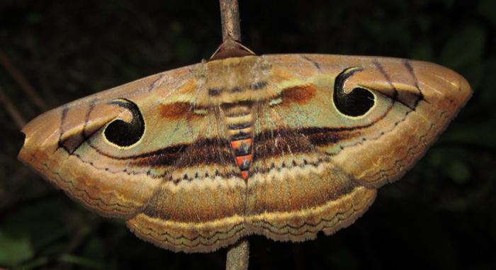 ஆந்தைக்கண் பட்டாம்பூச்சி (Owlet Moth) Photo: Wikipedia