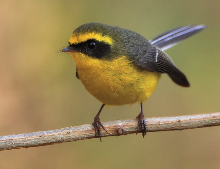 Yellow-bellied Fantail Chelidorhynx hypoxantha. Photo: Ramki Sreenivasan