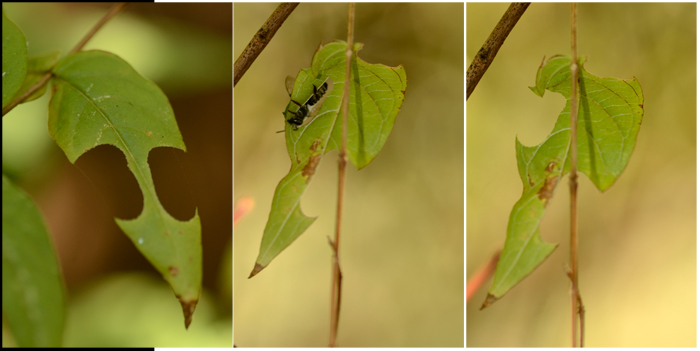 5_leaf cutting bees_700