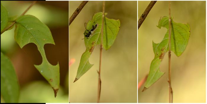 5_leaf cutting bees_700