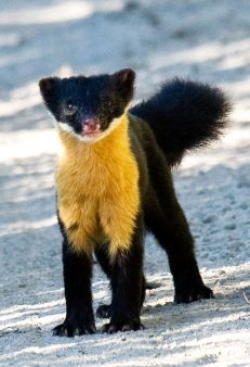 Nilgiri Marten_Photo: N A Naseer_Wikipedia