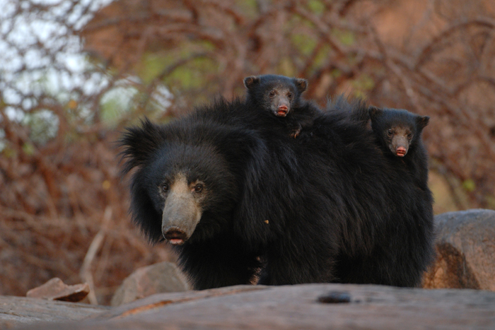 Sloth Bear with cubs