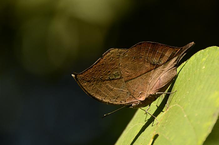 Oak Leaf Butterfly