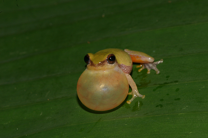 Raorchestes akroparallagi. Photo: David Raju