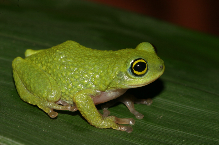 Raorchestes chalazodes. Photo: David Raju