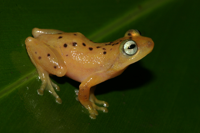 Raorchestes manohari. Photo: David Raju