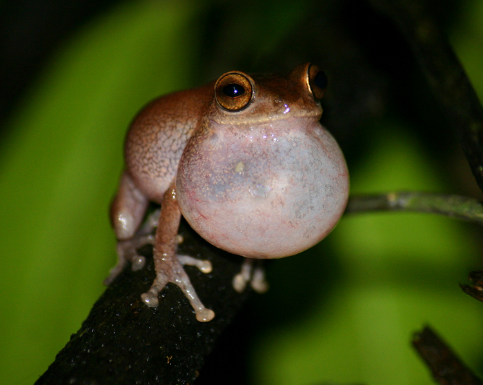 Raorchestes ponmudi. Photo: David Raju