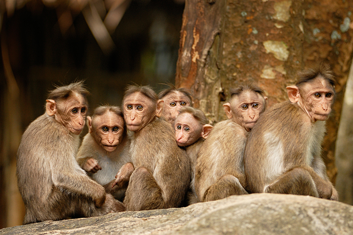 Bonnet Macaque. Photo: Kalyan Varma