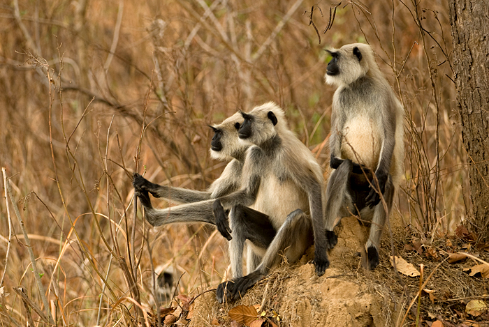 Gray Langur. Photo: Kalyan Varma