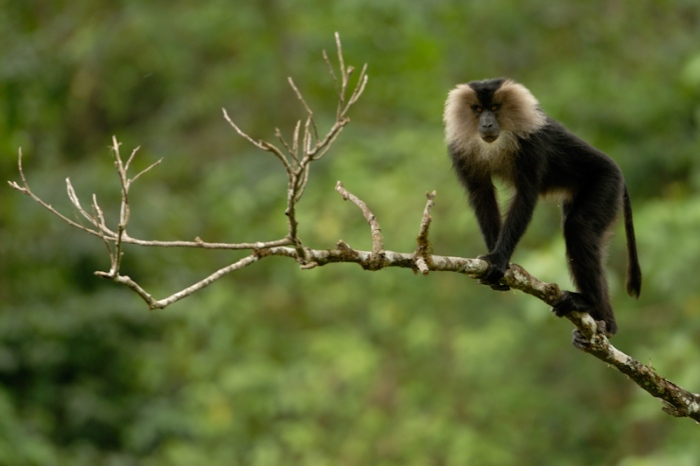 Lion-tailed Macaque. Photo: Kalyan Varma
