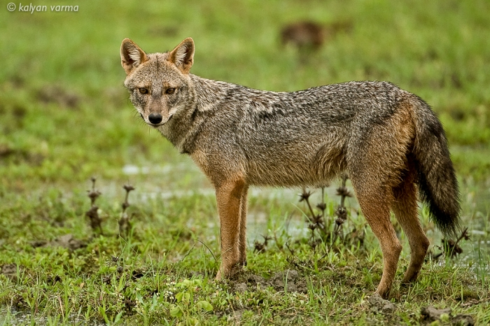 Golden Jackal. Photo: Kalyan Varma
