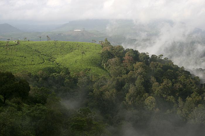 பல்லுயிரியம் மிகுந்துள்ள மேற்குத் தொடர்ச்சி மலைகள் மேலமைந்த தேயிலைத் தோட்டம்