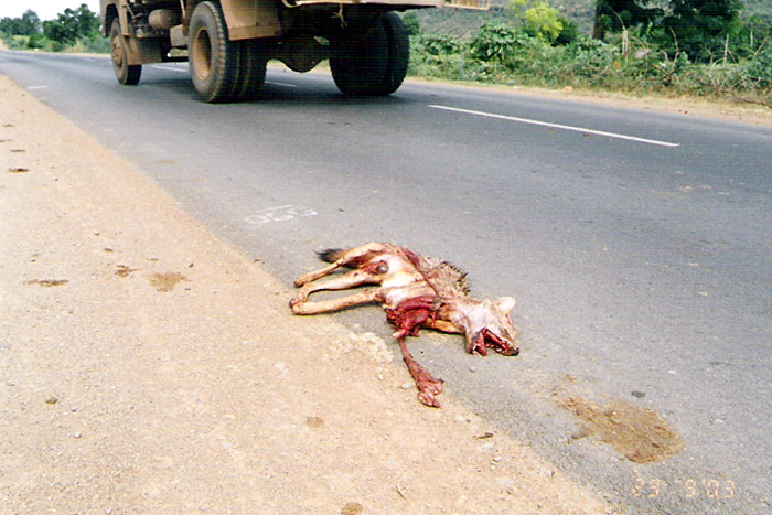 jackal roadkill near kurnool_700