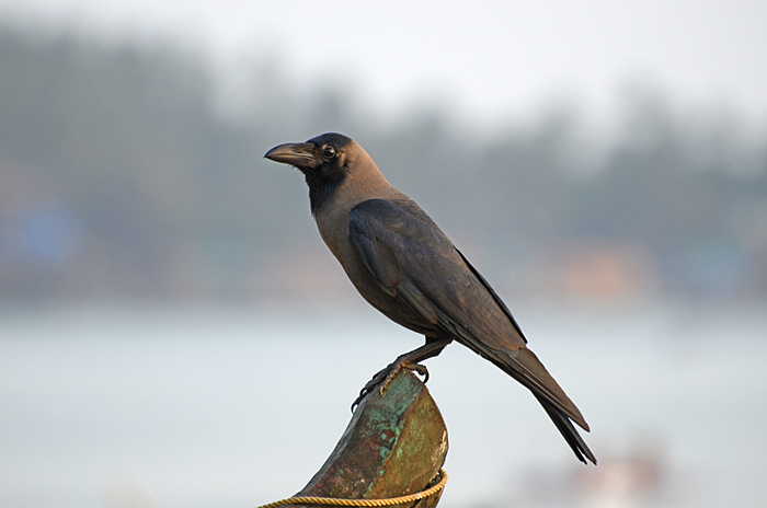 காகம் அல்லது மணிக்காக்கா