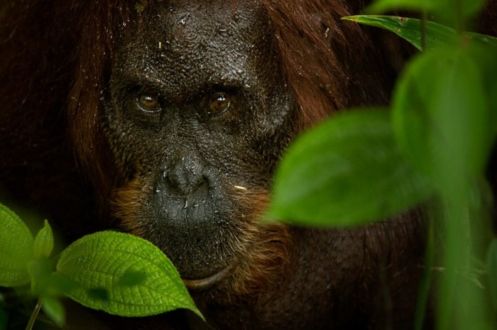 Orangutan. Photo: Kalyan Varma