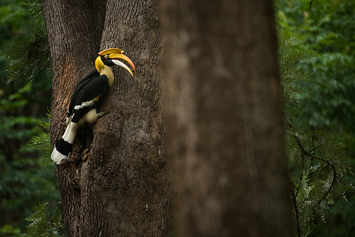Great Hornbill. Photo: Kalyan Varma