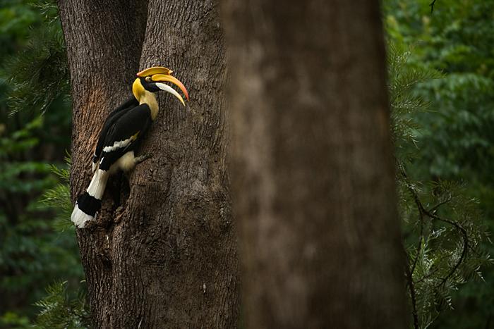 Great Hornbill. Photo: Kalyan Varma