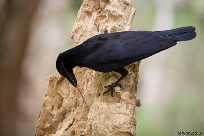 Calidonian Crow: Photo copyright: Jolyon Troscianko