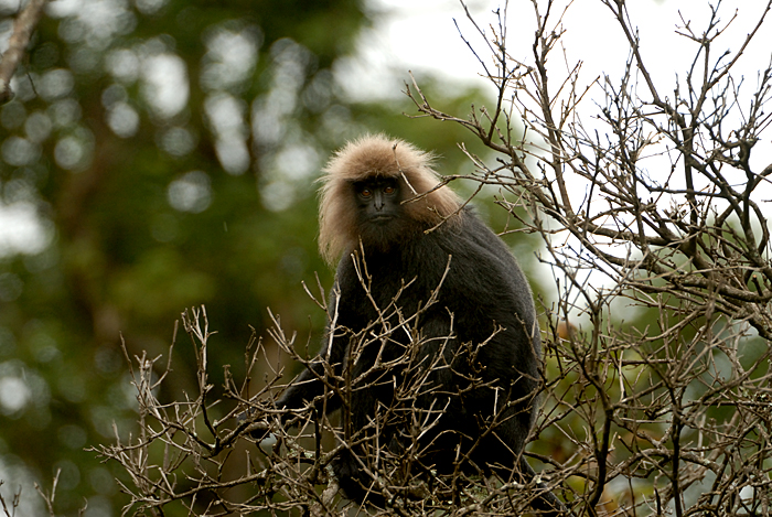 Nilgiri Langur. Photo: Kalyan Varma