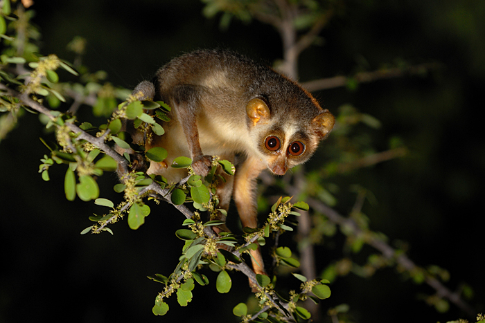 Slender Loris. Photo: Kalyan Varma