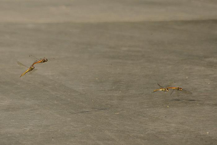 wandering glider_Photo_P Jeganathan (2)_700