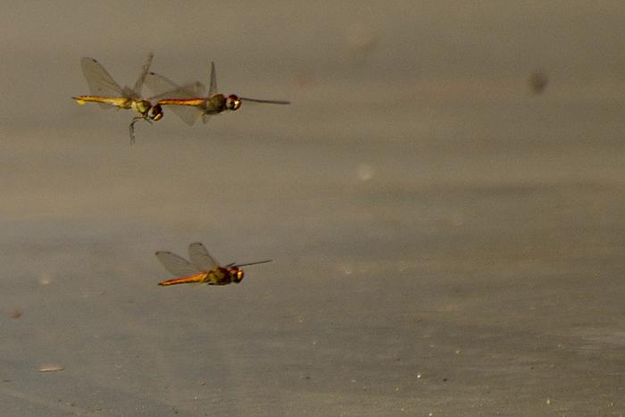 wandering glider_Photo_P Jeganathan (4)_