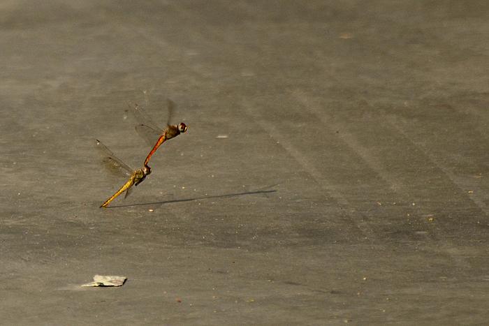 wandering glider_Photo_P Jeganathan (5)_700