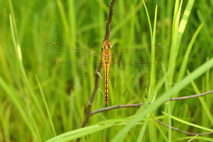 Wanderting Glider_Photo_P Jeganathan_700