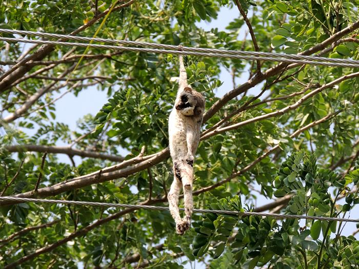 மின்சாரம் தாக்கி உயிரிழந்த தேவாங்கு . Photo: S.Bharathidasan